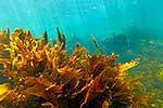 Underwater kelp forest