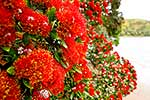 Pohutukawa blooms over water