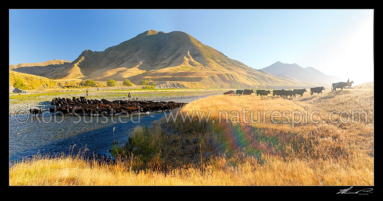 Image of Molesworth muster of steers out to Hanmer, Stockmen, horses and dogs pushing cattle across the Clarence River by Bush Gully and Bunkers Stream. Panorama, Molesworth Station, Marlborough District, Marlborough Region, New Zealand (NZ) stock photo image