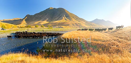 Molesworth muster of steers out to Hanmer, Stockmen, horses and dogs pushing cattle across the Clarence River by Bush Gully and Bunkers Stream. Panorama, Molesworth Station, Marlborough District, Marlborough Region, New Zealand (NZ) stock photo.