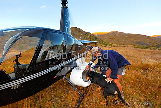 Stockmen loading his dogs into helicopter to aid in alpine muster of Yarra River, during Mt Scott steer muster, Molesworth Station, Marlborough District, Marlborough Region, New Zealand (NZ) stock photo.