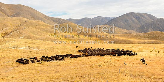 Cattle being led from the Yarra River over the Yarra Saddle into the Five Mile, during Mt Scott steer muster. Panorama, Molesworth Station, Marlborough District, Marlborough Region, New Zealand (NZ) stock photo.