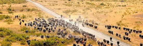 Stockmen mustering cattle down the Acheron valley along the Molesworth to Hanmer Springs road, pushing steers from the Yarra and Five Mile to Bush Gully. Panorama, Molesworth Station, Marlborough District, Marlborough Region, New Zealand (NZ) stock photo.