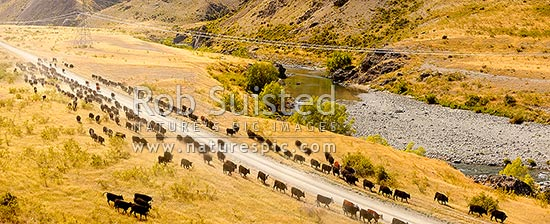 Stockmen mustering cattle down the Acheron River valley and along the Molesworth to Hanmer Springs road, pushing steers from the Yarra and Five Mile to Bush Gully. Panorama, Molesworth Station, Marlborough District, Marlborough Region, New Zealand (NZ) stock photo.