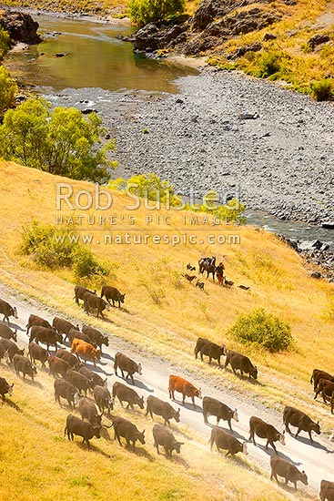 Stockman mustering cattle along the Molesworth to Hanmer Springs road, pushing steers from the Five Mile to Bush Gully beside the Acheron River, Molesworth Station, Marlborough District, Marlborough Region, New Zealand (NZ) stock photo.