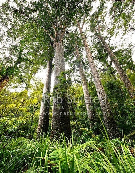 Giant Kauri trees (Agathis australis). Manginangina Scenic Reserve, Puketi forest. Square format, Kerikeri, Far North District, Northland Region, New Zealand (NZ) stock photo.