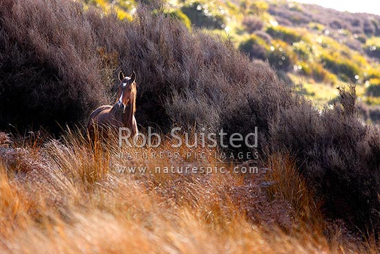 Kaimanawa wild horse mare standing amongst red tussock and manuka scrub. Army training area, Waiouru, Ruapehu District, Manawatu-Wanganui Region, New Zealand (NZ) stock photo.