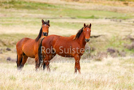 Kaimanawa wild horses, young stallions in the Moawhango valley, Waiouru, Ruapehu District, Manawatu-Wanganui Region, New Zealand (NZ) stock photo.