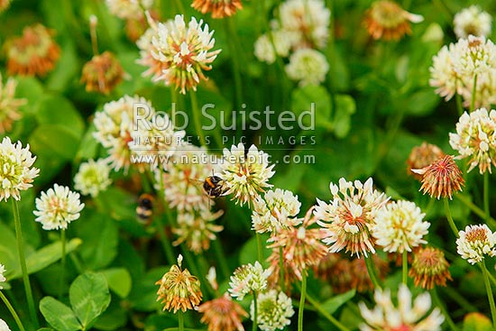 White clover flowers (Trifolium repens) and bumble bees (Bombus sp