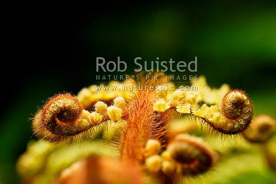 Fern koru of new tree fern growth unfurling, New Zealand (NZ) stock photo.