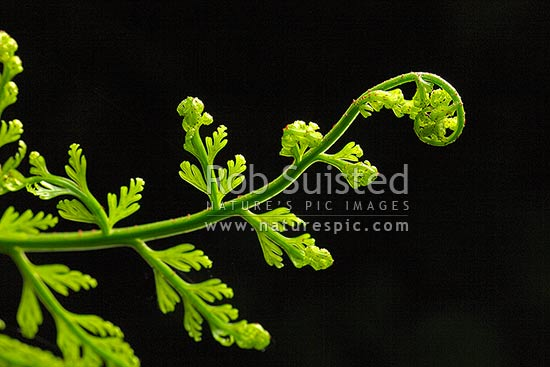 Hen and Chicken Fern (Asplenium bulbiferum) fronds unfurling with new growth. Koru shape with black background and translucent leaves, New Zealand (NZ) stock photo.