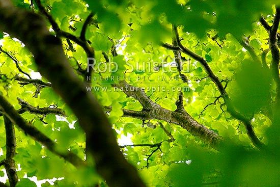 Sycamore tree leaf canopy  Platanus occidentalis   or Plane tree  New    Platanus Occidentalis Leaf