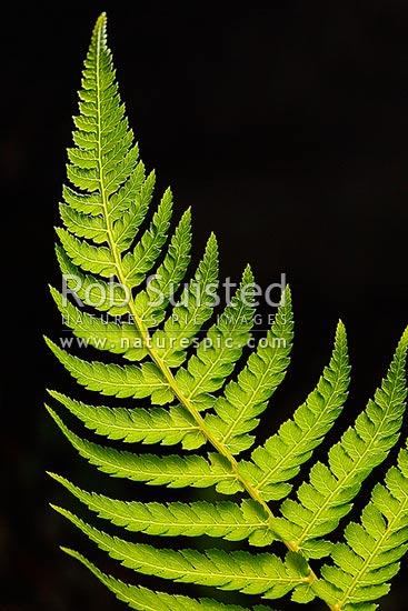 Silver Tree Fern Frond Or Leaf Backlit With Black