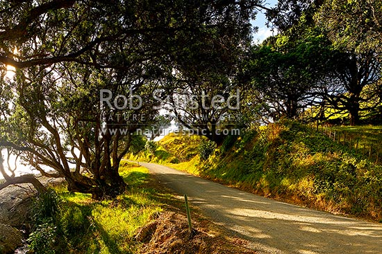 Coromandel coastal road passing under Pohutukawa tree canopy and farmland, Port Jackson Road,  Colville, Thames-Coromandel District, Waikato Region, New Zealand (NZ) stock photo.