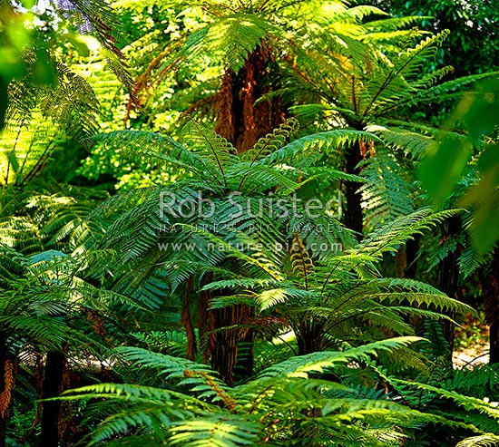 Tree ferns, New Zealand native rough tree ferns (Dicksonia squarrosa), Wheki in native forest. Square format, New Zealand (NZ) stock photo.