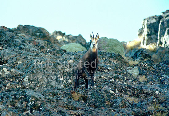 Young wild Chamois (Rupicapra rupicapra) standing amongst rocks. Inland Kaikoura Ranges, Kaikoura Ranges, Kaikoura District, Canterbury Region, New Zealand (NZ) stock photo.