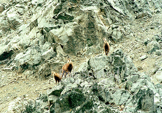 Wild Chamois doe, yearling and kid amongst high alpine rocks (Rupicapra rupicapra), Kaikoura Ranges, Kaikoura District, Canterbury Region, New Zealand (NZ) stock photo.