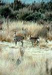 Wild Sika deer hind and yearling