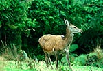 Wild Red deer, alert to danger
