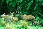 Wild Red deer stag rutting