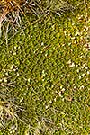 Alpine cushion plant, Hectorella