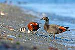 Native Paradise Shelducks and young