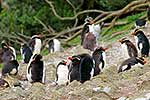 Snares crested penguins moulting