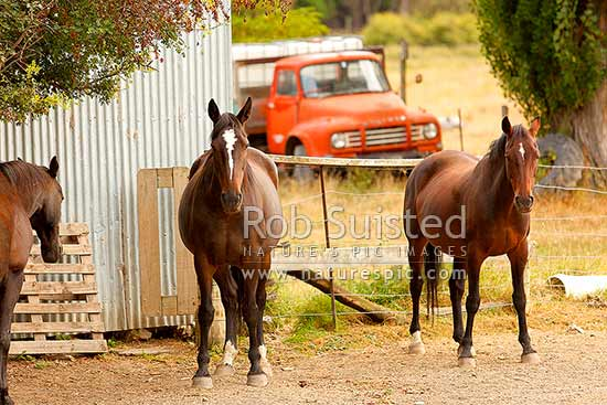 Muzzle Station horses. Clarence River valley, Muzzle Station, Kaikoura District, Canterbury Region, New Zealand (NZ) stock photo.