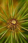 Speargrass flower