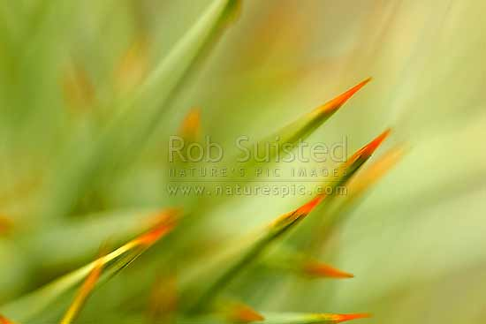 Spaniard speargrass spine or thorn tips on flower stem, abstract close up image texture (Aciphylla species), New Zealand (NZ) stock photo.