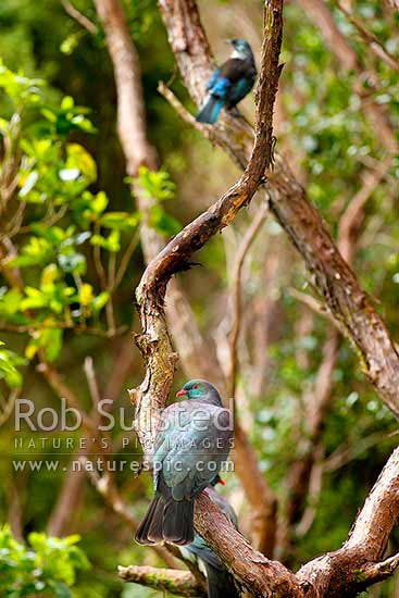 Wood pigeon (Hemiphaga novaeseelandiae) pair perching in Kanuka forest canopy with Tui bird (Prosthemadera novaeseelandiae) above. New Zealand pigeons, Kereru, kukupa, New Zealand (NZ) stock photo.