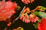 Red Beech tree flowers