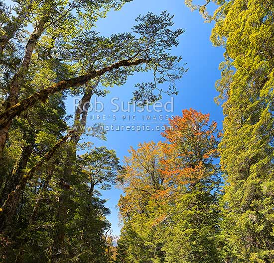 NZ Beech forest canopy. Mixed Red Beech (Maori: tawhai raunui, Fuscospora fusca, Syn Nothofagus fusca) and Silver Beech (Maori: tawhai, Lophozonia menziesii, Syn Nothofagus menziesii). Nothofagaceae. Early summer. Square format, Nelson Lakes National Park, Tasman District, Tasman Region, New Zealand (NZ) stock photo.