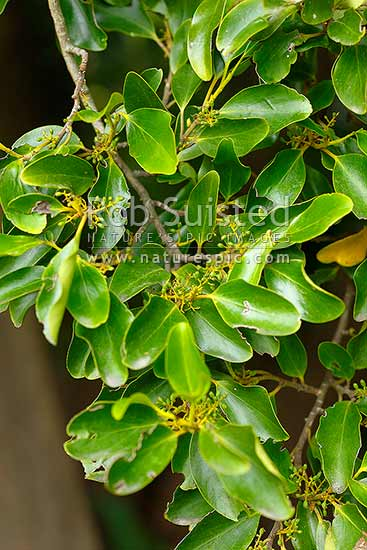Broadleaf or Papauma leaves, foliage and immature fruits (Griselinia littoralis), NZ native small tree, New Zealand (NZ) stock photo.