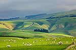 Sheep grazing, Otago