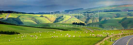 Sheep and stock grazing on lush farmland on a moody evening. State Highway 87. Panorama, Clarks Junction, Dunedin City District, Otago Region, New Zealand (NZ) stock photo.