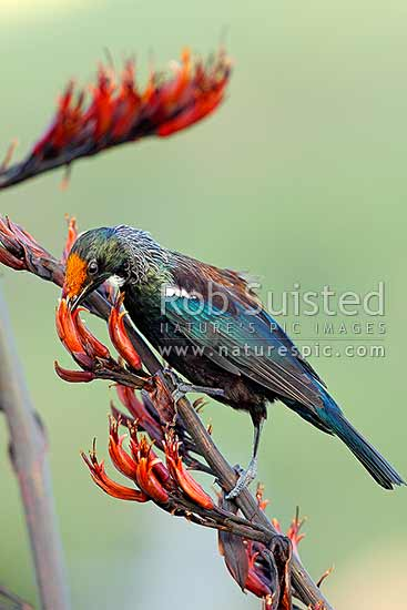 Tui bird (Prosthemadera novaeseelandiae) taking nectar from flax flowers (Phormium tenax). A young bird with pollen on it's head, New Zealand (NZ) stock photo.