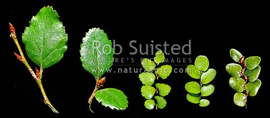 Beech tree leaf comparison of all New Zealand Nothofagus Beech trees: Red (Fuscospora fusca), Hard (F. truncata), Silver (Lophozonia menziesii), Black (F. solandri), and Mountain Beech (F. cliffortioides). Syn. Nothofagus, New Zealand (NZ) stock photo.