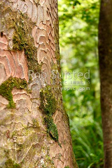 Kauri tree bark pattern and texture close up, with lichen and mosses (Agathis australis), New Zealand (NZ) stock photo.