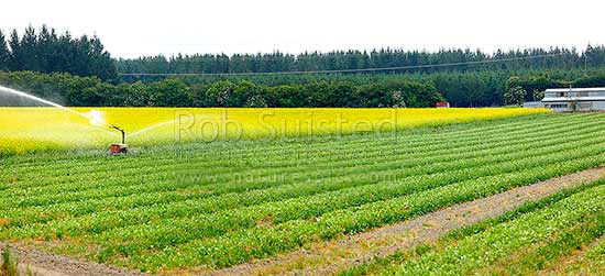 Crop irrigation in north Canterbury. Irrigator working and watering brassica crops, likely Canola plants in yellow flower. Panorama, Culverden, Hurunui District, Canterbury Region, New Zealand (NZ) stock photo.