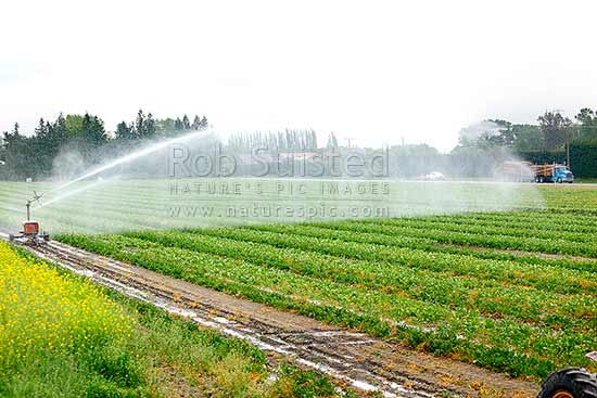 Brassica crop irrigation with high pressure water irrigator watering crop rows - canola seed crop in flower, Culverden, Hurunui District, Canterbury Region, New Zealand (NZ) stock photo.