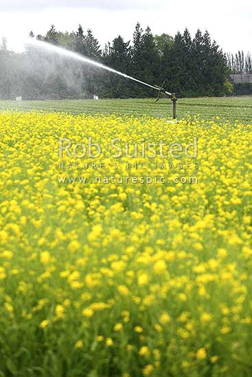 Crop irrigation in north Canterbury. Irrigator working and watering brassica crops, likely Canola plants in yellow flower, Culverden, Hurunui District, Canterbury Region, New Zealand (NZ) stock photo.