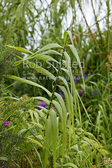 Giant Reed Plant Weed Pest Arundo Donax Also Known As Elephant