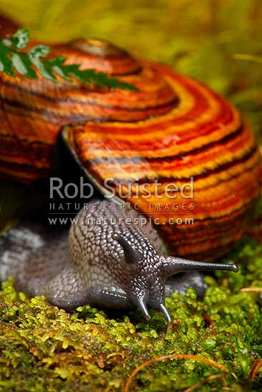 Nocturnal Hochstetter's giant carnivorous landsnail (Powelliphanta hochstetteri hochstetteri) on mossy forest floor, Takaka Hill, New Zealand (NZ) stock photo.