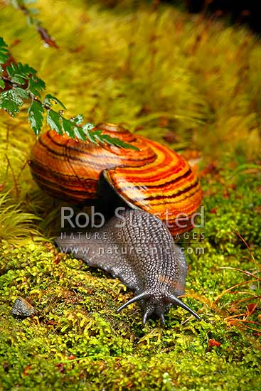 Hochstetter's giant carnivorous landsnail (Powelliphanta hochstetteri hochstetteri) crossing moss of forest floor on a damp night. Threatened NZ native, Takaka Hill, New Zealand (NZ) stock photo.