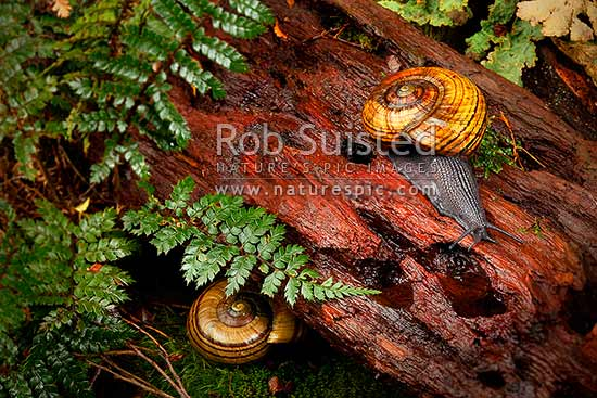 Hochstetter's giant landsnail (Powelliphanta hochstetteri) during a moist night. Threatened NZ native, Takaka Hill, New Zealand (NZ) stock photo.