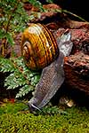 Giant Powelliphanta snails, native