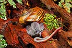 Native Powelliphanta snail hunting