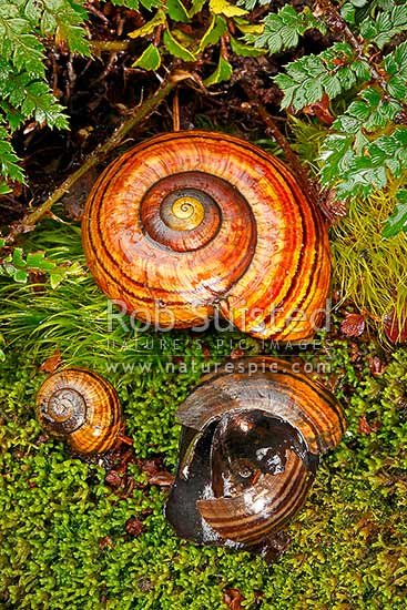 Hochstetter's Giant New Zealand native landsnails (Powelliphanta hochstetteri#. Adult #65mm across shells), juvenile, and shell of snail killed and eaten by a predator such as wild pig or possum, Takaka Hill, New Zealand (NZ) stock photo.