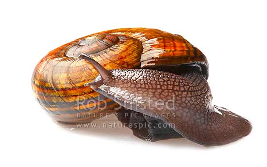 Hochstetter's Giant New Zealand native landsnail lifting head (Powelliphanta hochstetteri hochstetteri); white background. 65mm across shell, Takaka Hill, New Zealand (NZ) stock photo.